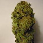 Get Aurora Kush Seeds From LadySeeds.com