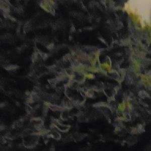 Get Black Beauty Marijuana Seeds From www.ladyseeds.com